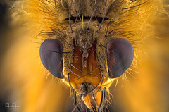 Dung Fly headshot (John Joslin) Tags: dungfly fly dung small insect finy eyes hairy colour color yellow macro antenna blur closeup close delicate extreme focus little nature stacking stack wildlife wild