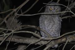 civetta (nnicolo) Tags: civetta gufo natura bosco notte long exposure times wood nature owl night
