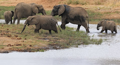 World Elephant Day - 12 August 2017 (AnyMotion) Tags: worldelephantday 12august2017 africanelephant afrikanischerelefant loxodontaafricana elephant elefant movingfamily familie tarangirenationalpark tanzania tansania africa afrika travel reisen animal animals tiere nature natur wildlife 7d2 canoneos7dmarkii