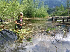 Cutting down invasives (BC Wildlife Federation's WEP) Tags: outreach public yellowflagiris bcwf education wep wetlandseducationprogram invasive species control research wetland bcwildlifefederation cheamlake cheam rosedale chilliwack