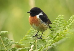 Standing on a fern (blue33hibiscus) Tags: bird stonechat lizardpoint cornwall fern plant