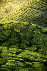 Curvy Tea Farm (Tan Wai Hoong) Tags: green cameron highland sunrise