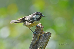 Coal Tit (Mike Slade.) Tags: coaltit periparusater bird devon uk mike slade