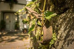 ivy leaves (hjuengst) Tags: ivy leaves badtölz bavaria focus bokeh