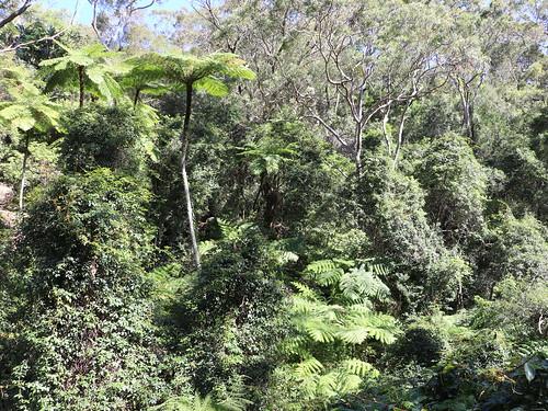 Straw Tree Fern (Cyathea cooperi)