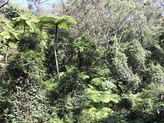 Straw Tree Fern (Cyathea cooperi) (Poytr) Tags: cyathea cyatheaceae cyatheacooperi cissus cissushypoglauca vitaceae treefern strawtreefern watervine fiveleafwatervine sydneyrainforest sydneyaustralia castlecrag fern arfp nswrfp qrfp castlecove nsw arfcp haroldreidreserve