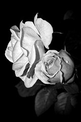 White Roses (Nikonphotography D750) Tags: shadesofgrey stillifephotography apsc schwarzweissfotographie blackandwhitephotography schwarzweiss blackandwhite lichtundschatten lightsandshadow sigma sigma60mm sigmaart60mm28 sonyphotography sonyalpha sonyalpha6000 sonyilce6000 makrofotografie macrophotography einfarbig makro macro roses whiteroses