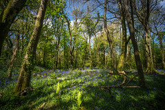 Woods-2 (www.seanquigleyphotography.co.uk) Tags: voigtlander cornwall bluebell woods trees fern sonya7rii
