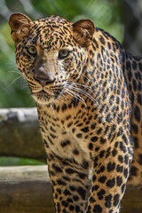 Picture perfect (stephanieswayne1) Tags: portrait profile gaze stare gazing posing looking head face eyes spots endangered zoo columbus cat big animal wild baby male young cub leopard african africa