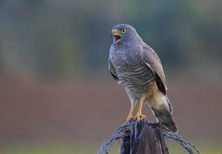 Gavilán Pollero | Roadside Hawk (Rupornis magnirostris)