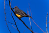 Tyrannus melancholicos (mestremur) Tags: bird ave tropical amarillo tyrannus melancólicos yellow tamron 300mm f56 pecho zoom telephoto wild panama canal tropic bosques insectivoros volador hasselblad hv amount