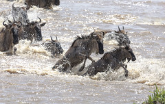 Made it to the Shore - Wildebeests crossing Mara River - Tanzania (twohamstersca) Tags: africa tanzania marariver migration crossing river wildebeest wildlife nature water canon5d