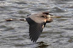 Great Blue Heron at Conowingo Dam...6O3A6156A (dklaughman) Tags: greatblueheron heron conowingo dam maryland