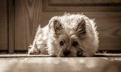 whazzup?! (Dotsy McCurly) Tags: ruffy cute dog cairnterrier nikond750 tamron18400mmf3563diiivchld bokeh floor 7dwf sepia newjersey