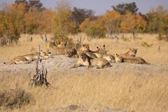 Late Cecil's Pride Hwange National Park Zimbabwe Africa (eriagn) Tags: africa zimbabwe hwangenationalpark cecil lions pride lioness savannah resting thehide ngairehart ngairelawson eriagn africanwildlife wildlife bigfive gamedrive safari travel traveller canon eos dryseason animal predator mammal