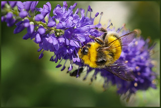 P1190462-1 - Bumblebee on Veronica