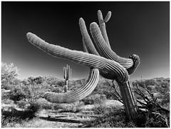 Go With the Flow (claudiov958) Tags: arizona biancoenero blackwhite blancoynegro černýabílý claudiovaldés czarnyibiały mediumformat mediumformatdigital noiretblanc pentax645z pretoebranco schwarzundweiss tree черноеибелое pentaxart hdpentaxda6452845mmf45edawsr saguaro cactus