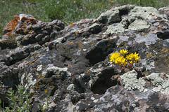 Miniature Landscape (Jeff Mitton) Tags: stonecrop lichen wildflower sedumlanceolatum coloradoplateau utah earthnaturelife wondersofnature