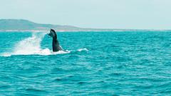 Ballenas Jorobadas en Salinas (Juan Alfredo 001) Tags: salinas ecuador playa ballenas jorobadas azul pacífico sudamérica agua