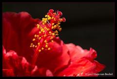 Red Hibiscus. (Hans van Bockel) Tags: 105mm bloei bloemen bloesem bridge closeup d7200 hansvanbockel kleur lightroom macro nef nikon photoshop raw voorjaar zomer hibiscus rood