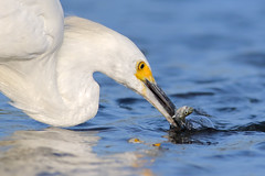 Catch du jour! (bmse) Tags: snowy egret bolsa chica fish fishing bmse salah baazizi wingsinmotion canon 7d2 400mm f56 l