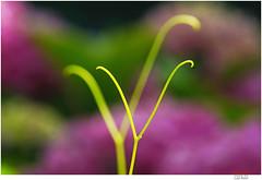 synchronic (Lutz Koch) Tags: weinranke wein ranke synchron synchronic garten garden wine vines szentpéterúr ungarn hungary zala pannonien elkaypics lutzkoch bokeh magyarorszag hongrie minimal minimalismus minimalism tendril explore inexplore explored