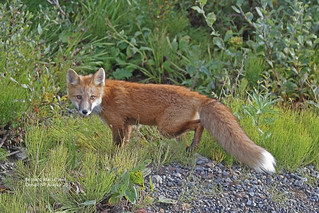 Red Fox_4H4A6649