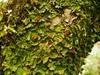 Lobaria virens (davidgenneygroups) Tags: uk scotland lichen lobariavirens lobaria virens foliose fertile corticolous