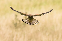 Kestrel (female/juvenile) Aug 2017 (jgsnow) Tags: bird raptor falcon kestrel hovering ngc npc naturethroughthelens