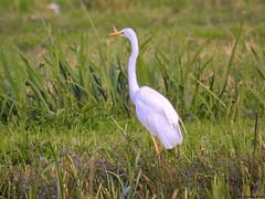 Great White Egret (Corine Bliek) Tags: ardeaalba bird birds vogel vogels nature natuur wildlife wader reigers