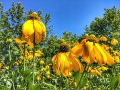 Gardens in Town (CCphotoworks) Tags: gardens yellowflowers skybackground blueskies outdoors nature august summer blooms flowers yellow