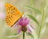 Heliconiinae (BirgittaSjostedt) Tags: heliconiinae heliconians insect butterfly wings flower macro twofer leaves summer outdoor birgittasjostedt magicunicornverybest ie