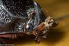 photo-202626.jpg (GeeC) Tags: animalia arthropoda beetles cambodia coconutrhinocerus coleoptera dynastinae insecta kohkongprovince nature oryctes oryctesrhinoceros scarabbeetles scarabaeidae scarabaeoidea tatai gallery