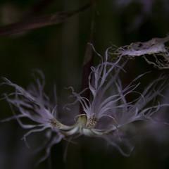 Reaching the light (Mona_Oslo) Tags: flower flowers beauty barcode oslo monajohansson purple lowkey square softlight