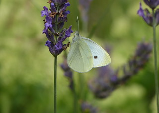Small cabbage white - Koolwitje
