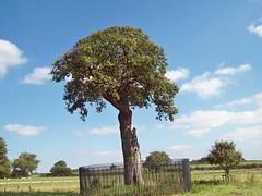 929c The Royal Oak - Boscobel House (robertknight16) Tags: royal oak charlesii boscobel et englishheritage