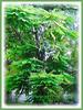 Averrhoa bilimbi can grow to 5-10 m tall with sparsely arranged upright branches (jayjayc) Tags: flickr17 jaycjayc malaysia kualalumpur green floweringplants averrhoabilimbi bilimbi bilimbitree cucumbertree treesorrel belimbingasambulohinmalay perennials tropicalplant flowers