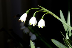 Snowdrops - 72/100 (DaveSPN) Tags: 100flowers2017
