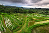 Jatih Luwih Rice Terrace (©Helminadia Ranford) Tags: jatihluwih tabananvillage nature bali landscape travel ricefield indonesia