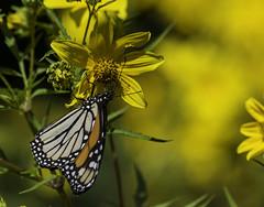 MonarchButterfly_SAF4583 (sara97) Tags: danausplexippus butterfly endangered insect missouri monarch monarchbutterfly nature outdoors photobysaraannefinke pollinator saintlouis towergrovepark