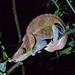 Night Chameleon