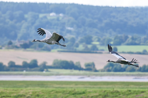 Common Crane (Grus grus) in flight