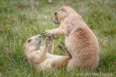 Mrs Digital Banham Zoo _MG_1996 PF.jpg (Mr and Mrs Digital) Tags: zoo dog wild 2017 banham prairie norfolk animal ngc coth5