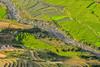 File616.0617.Trồng Tồng.Cao Phạ.Mù Cang Chải.Yên Bái (hoanglongphoto) Tags: asia asian vietnam northvietnam northwestvietnam landscape scenery vietnamlandscape vietnamscenery vietnamscene terraces terracedfields terracedfieldsatvietnam transplantingseason sowingseeds afternoon sunny sunnyafternoon sunnyweather valley flanksmountain hdr canon canoneos1dsmarkiii canonef70200mmf28lisiiusmlens tâybắc yênbái mùcangchải caophạ phongcảnh ruộngbậcthang ruộngbậcthangmùcangchải thunglũng mùacấy đổnước mùacấymùcangchải đổnướcmùcangchải sườnnúi buổichiều nắng nắngchiều bóngđổ abstract trừutượng curve đườngcong trồngtồng thunglũngcaophạ