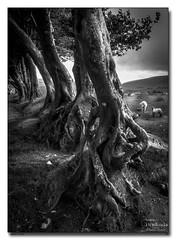 Twisted-Trees (jeremy willcocks) Tags: twisted tree blackandwhite mono sheep lamb roots jeremywillcocks wwwsouthwestscenesmeuk fujixpro2 xf1024mm landscape dartmoor devon uk