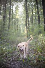 IMG_0210 (BernaPhotography) Tags: dog pet labradorretriever lab yellow forest woods serbia portrait