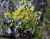 Vulpicida pinastri (davidgenneygroups) Tags: lichen uk scotland vulpicidapinastri vulpicida pinastri foliose corticolous soralia