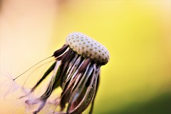 Dandelion (andreea_mihailiuc) Tags: macro flower dandelion nature focus nikond3200 40mmf28 yellow green colors depthoffield bokeh background london flickr andreeamihailiuc white pure empty