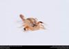 Striped Bark Scorpion  (Buthidae, Centruroides vittatus (Say)) (insectsunlocked) Tags: arachnida scorpiones buthidae centruroides centruroidesvittatus scorpion santillanaale stripedbarkscorpion insectsunlocked