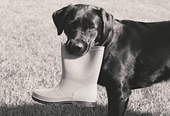 The Boot Thief (SkyeHar) Tags: dog dogs perros hunde chien labradorretriever sel50f18s a6300 monochrome pet labrador depthoffield funny